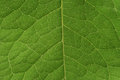 Green leaf vascular system a close up high resolution image of a s Royalty Free Stock Photos
