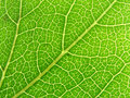 Green leaf veins 04 Stock Image