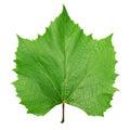 Green leaf vine Royalty Free Stock Photo