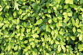 Green leaf wall Stock Image