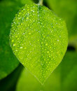 Green leaf with water droplets close up Royalty Free Stock Image