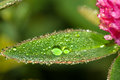 Green leaf  with water drops close up a macro Royalty Free Stock Photo