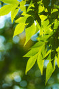 Green leafe  of maple in sunny day. Stock Photography