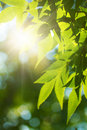 Green leafe  of maple in sunny day. Royalty Free Stock Image