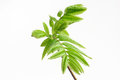 Green leafs at the twig rowan berry. Royalty Free Stock Photo