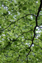 Green leafy background underside view of branches on tree Stock Image