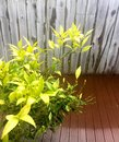 Green leafy plant on the deck Royalty Free Stock Photo