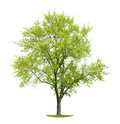 Green leafy tree on grassy patch isolated white Stock Image