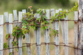 Green leafy vine plant on wood fence Royalty Free Stock Photo
