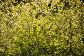 Green leave bush texture Royalty Free Stock Photo