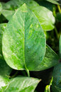 Green leave gossypium herbaceum also called levant cotton Royalty Free Stock Images