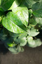 Green leave gossypium herbaceum also called levant cotton Stock Images