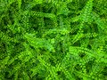 Green leave ivy covered concrete wall texture background. Plant wall for air purifying. Green wall ivy for reduce energy consump Royalty Free Stock Photo