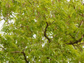 Green Leaves Acacia Tree As A ...