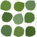 Green leaves aspen Royalty Free Stock Photo