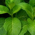 Green leaves background, close up of Hydrangea leaves Royalty Free Stock Photo