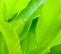 Green leaves background exotic nature Royalty Free Stock Image