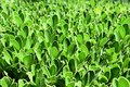 Green leaves background. Fresh spring greens. Royalty Free Stock Photo