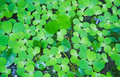 Green leaves for background green leaves texture background Royalty Free Stock Photography