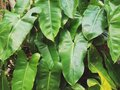 Green leaves background. Picture in vintage tone. Royalty Free Stock Photo