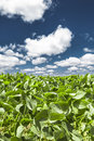 Green leaves and blue sky with cotton clouds close up of the of a soybean plant in a field under a beautiful on a summer day Royalty Free Stock Photography