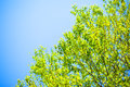 Green leaves and blue sky summer Royalty Free Stock Image
