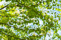 Green leaves and blue sky summer Royalty Free Stock Photo