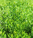 Green leaves and brunches of young bush under the sun background Royalty Free Stock Photography