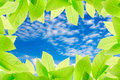 Green leaves with clear bule sky for background texture Stock Image