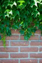 Green leaves of a climbing plant of ivy, against a red brick wall Royalty Free Stock Photo