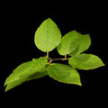 Green leaves on a dark background isolated Royalty Free Stock Images