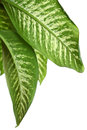 Green leaves of dieffenbachia Royalty Free Stock Photo
