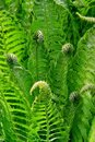 Green leaves of fern Stock Image