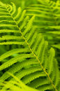 Green leaves of fern, tropical forest Royalty Free Stock Image
