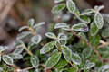 Green leaves after a frost Stock Photo