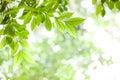 Green leaves on green bokeh sunshine background Royalty Free Stock Photo