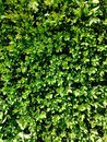 Green leaves hedgerow background for spring Royalty Free Stock Image