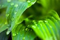 Green leaves of hosta with dew drops Royalty Free Stock Photo