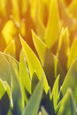 green leaves of the iris are bathed in yellow grow in the spring Royalty Free Stock Photo
