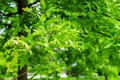 Green leaves of landscaping tree, Quercus palustris, the pin or swamp Spanish oak in park Royalty Free Stock Photo