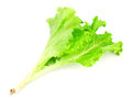 Green leaves of lettuce salad Royalty Free Stock Photography