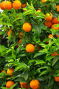 Green leaves and mature oranges. Stock Image
