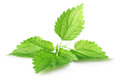 Green leaves of nettle Stock Photo