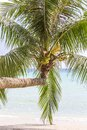 Green leaves and nuts of coconut palm tree near sea water on tropical beach, Thailand. Nature concept Royalty Free Stock Photo