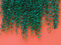 Green leaves on orange wall Stock Images