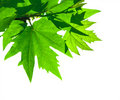 Green leaves over white background Stock Image