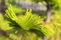 Green leaves pine casuarina with dof Royalty Free Stock Image
