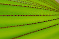 Green Leaves with red tooth pattern Royalty Free Stock Photography
