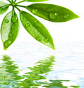 Green leaves reflected in water Royalty Free Stock Images