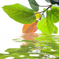 Green leaves reflecting in the water Royalty Free Stock Photography